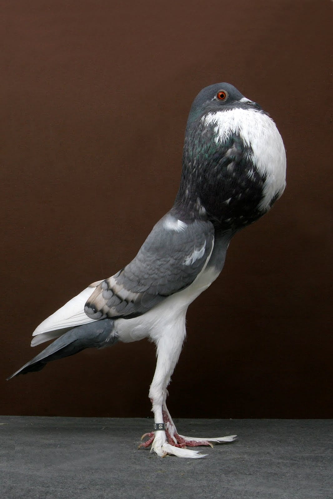 Know Your Pigeons: The Pouter Pigeon | Pigeon Patrol Canada - Bird ...