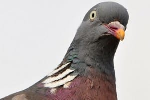 Close-Up-Of-Pigeon-Against-Clear-Sky