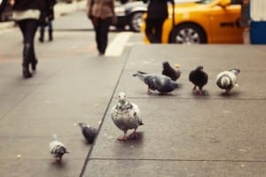 Shock, burns as birds bear pollution brunt   Pigeon Patrol