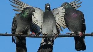pigeon racing pill