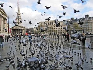 feral pigeons pigeon patrol feeding