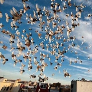 pigeon flock soaring in the sky