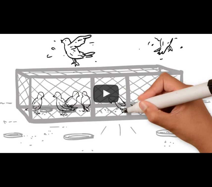 Pigeon Trapping Cages