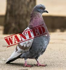 pigeon standing proudly with a wanted stencil overtop