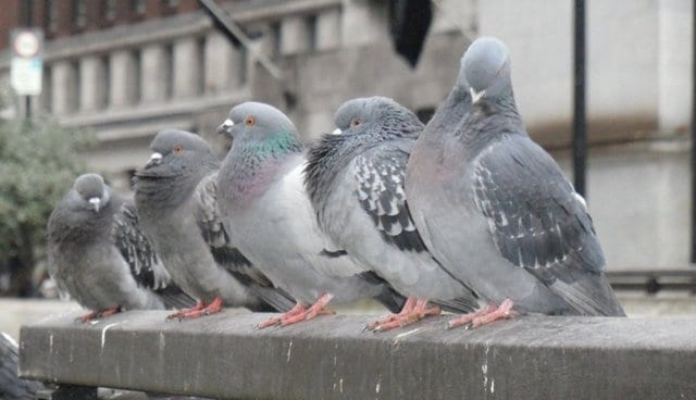 Let's stick with pigeons for a moment.