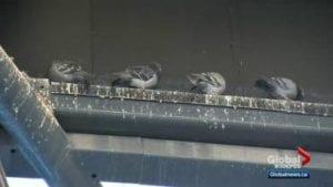Bird Gone, Pigeon Gone, Pigeon problems, pigeon spikes, 1-877-4NO-BIRD, 4-S Gel, Bird Control, Pigeon Control, bird repellent, Bird Spikes, sonic bird repellent, stainless steel bird spikes, bird spikes Vancouver, Ultra Sonic Bird Control, Bird Netting, Plastic Bird Spikes, Canada bird spike deterrents, Pigeon Pests, B Gone Pigeon, Pigeon Patrol, pest controller, pest control operator, pest control technician, Pigeon Control Products, humane pigeon spikes, pigeon deterrents, pigeon traps, Pigeon repellents, Sound & Laser Deterrents, wildlife control, raccoon, skunk, squirrel deterrent, De-Fence Spikes, Dragons Den.