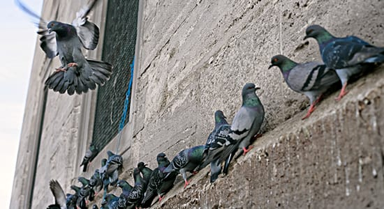Overpopulation has Wisconsin town putting pigeons on the pill