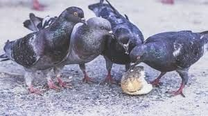 pigeons feeding on scrap food