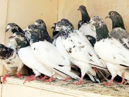 a group of pigeons
