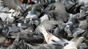 growing pigeon