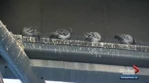 pigeons roosting on a metal beam. bird droppings