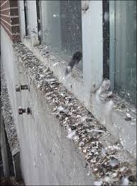 Pigeon feces on building