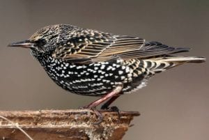 How did starling populations become so large?