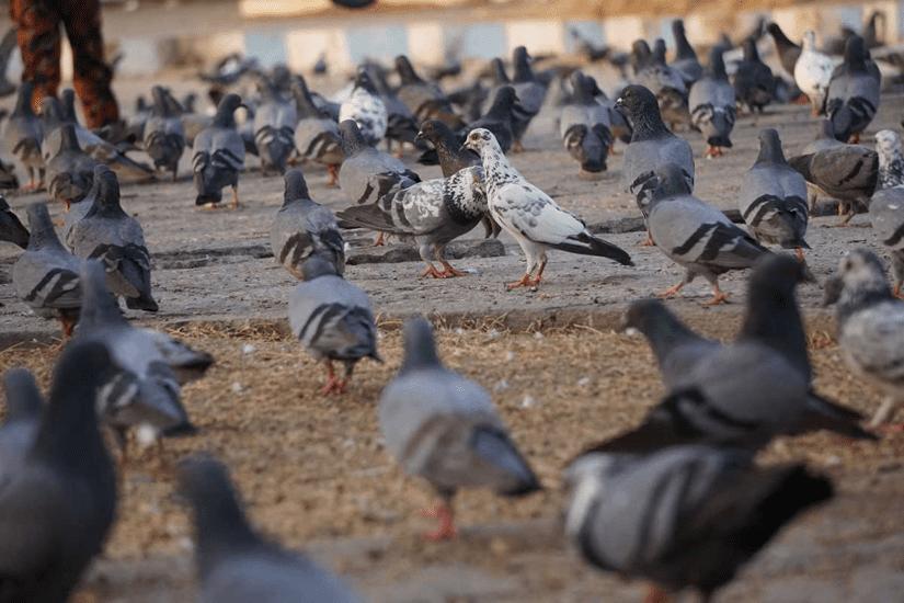 Pigeon Habitat