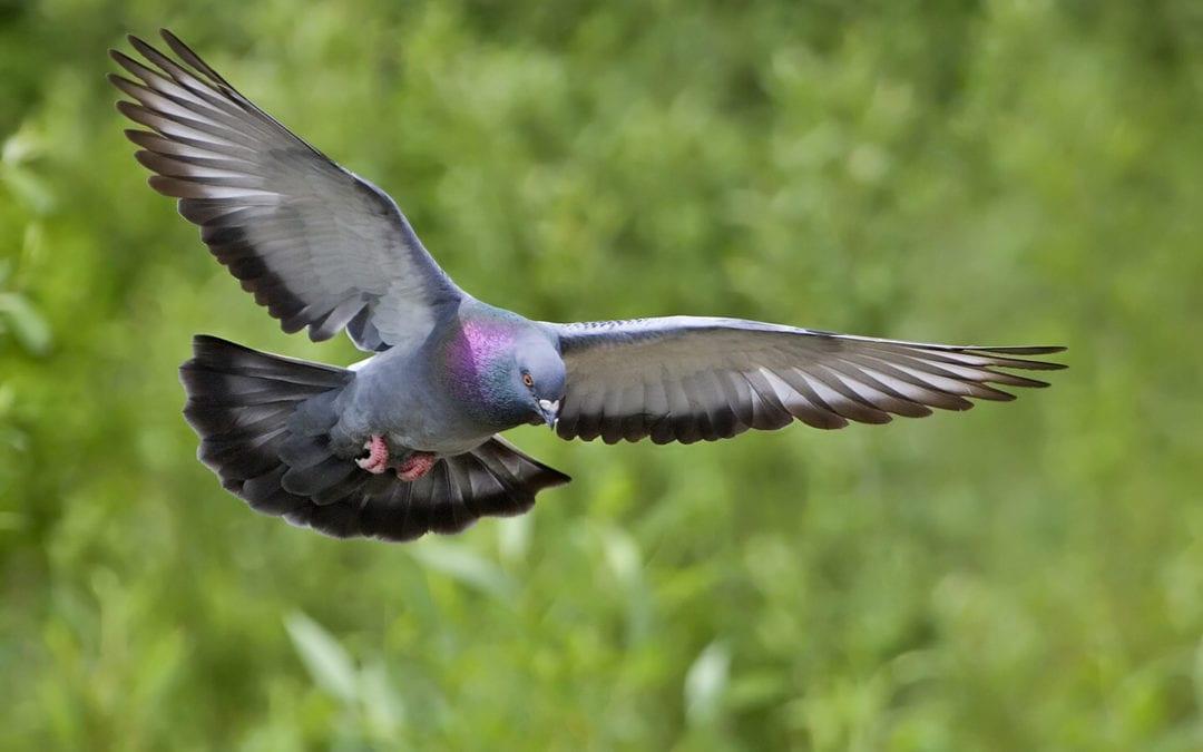 Pigeon Threats