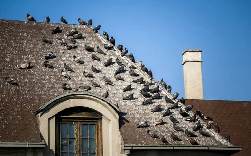 The Danger of Pigeon Droppings