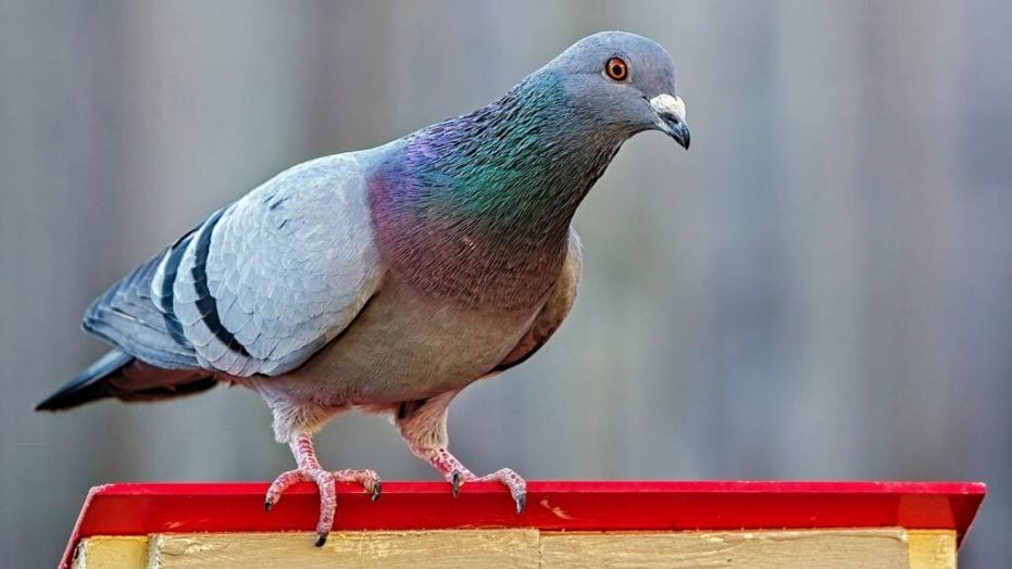 5 Cool Facts About The Pigeon