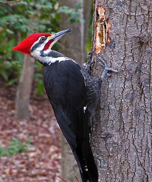 woodpecker-vertical
