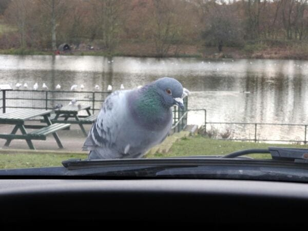 How Long Before Pigeon Poop Damages Your Car?
