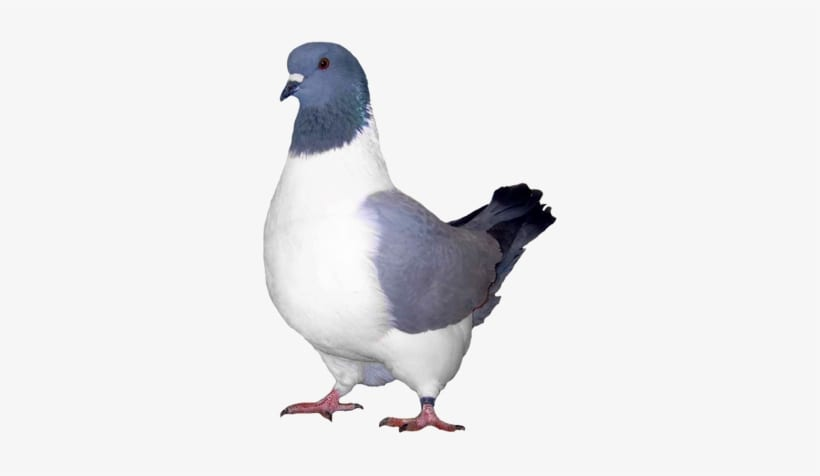 What Are Ice Pigeons?