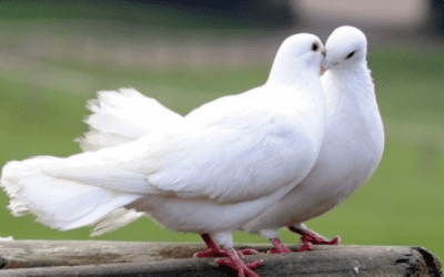 Doves – What Do They Eat