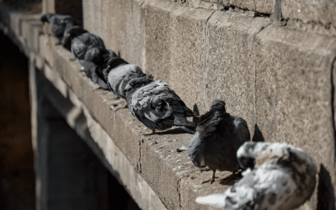 Should You Care About Pigeons Roosting?