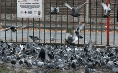 What To Do About Pigeons