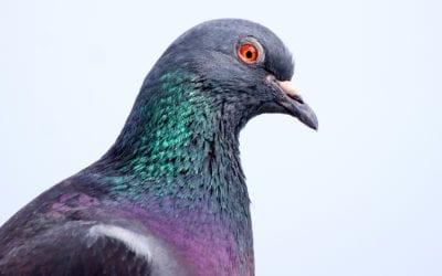 Pigeon Prevention Methods & Damage Control