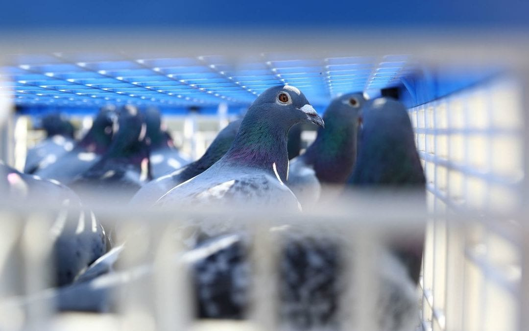 Pigeon Identifications and Problems