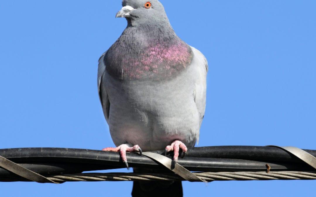 Reducing Number In Pigeons