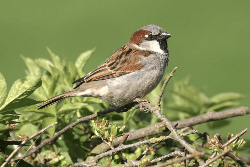 10 Sparrow Facts