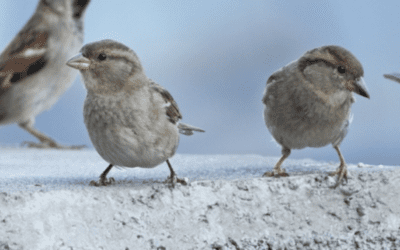 Damages Caused by Sparrows