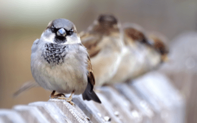 Why The House Sparrows Are Unwelcome