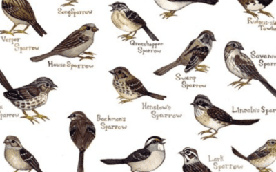 Most Common Types of Sparrow
