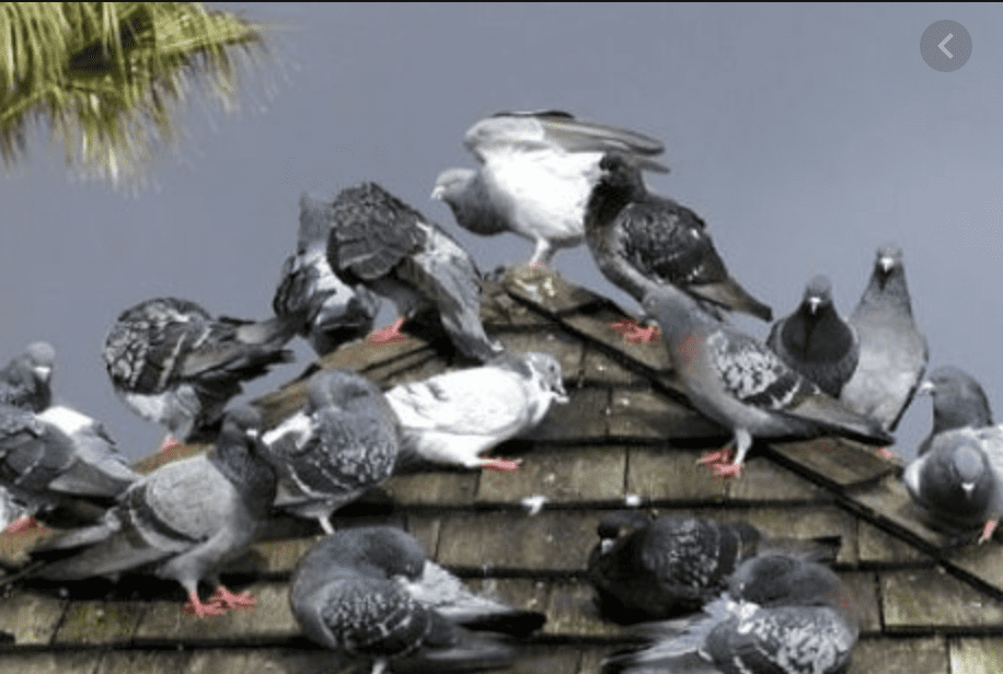 Birds Can Carry Diseases That Affect Humans