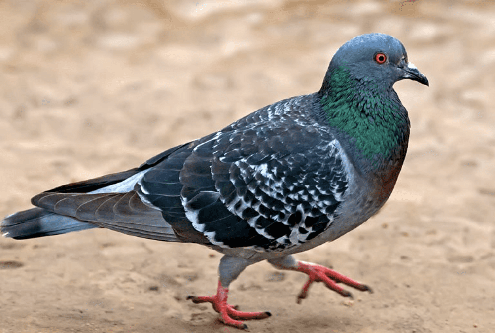 Pigeon Nesting and Breeding Patterns and Behavior