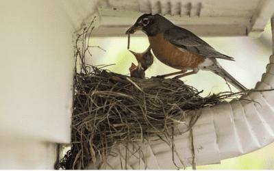Seasonal and General Behavior of Pest Birds