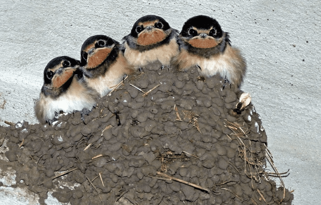 Why Swallows Are Considered Pests