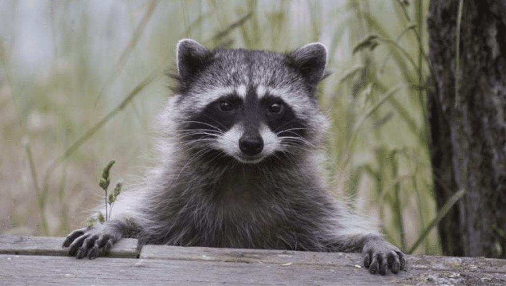 Why Are Raccoons Considered Pests?