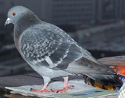 Is this a pigeon? A 2011 meme reincarnated in 2018
