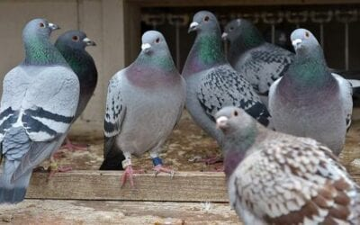 Pigeon King Wants to Go It Alone