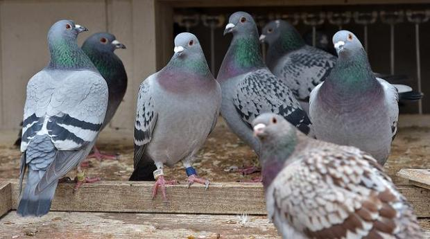 Should you be worried about pigeons?