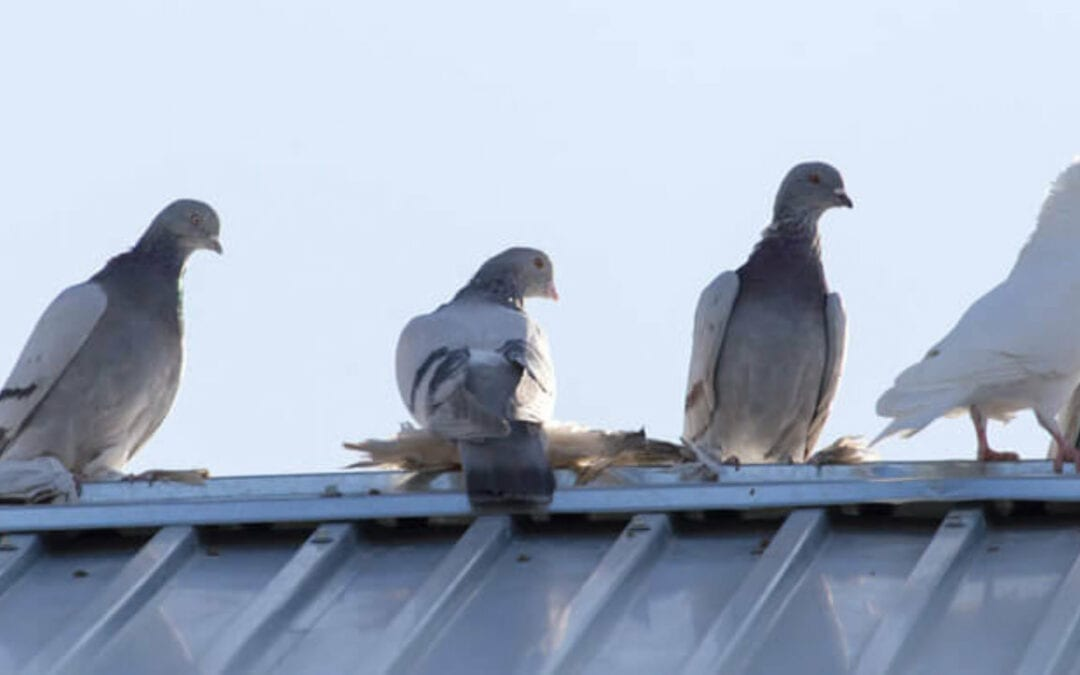 Why you need to deal with pigeons on your home's roof