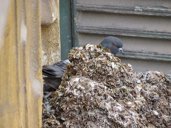 Pigeons carry more diseases than rats