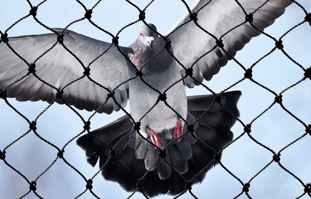 Pigeon disasters give wing to theory