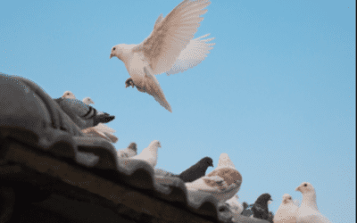 Why Pigeons Are On Your Roof