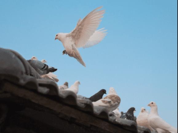 pigeon vancouver