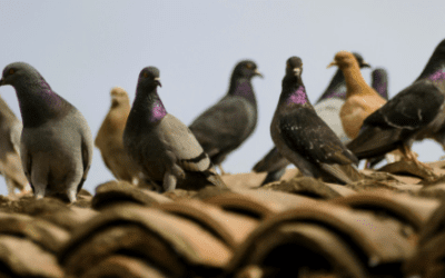 Did Thousands of Pigeons Poop on Spectators at 1936 Olympic Games?