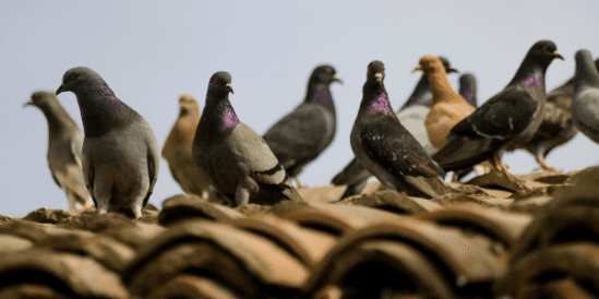 Tonnes of pigeon poo from quake-hit church going to landfill
