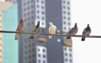 Pigeon flies past broadband in data speed race